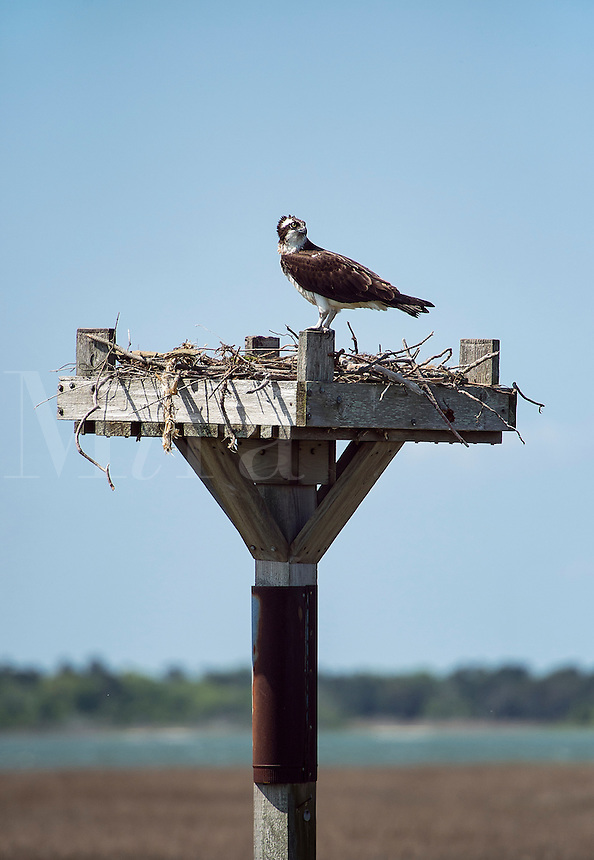 Osprey landing in salt marsh nest, Delaware
