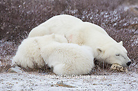 01874-13706 Polar Bears (Ursus maritimus) female with 2 cubs sleeping, Churchill, MB Canada