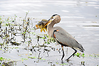 Great Blue Heron  grabbed a fish at Wakodahatchee Wetlands, Delray Beach, Florida. The fish was too large and the Heron was forced to drop it back into the water.Picture taken New Year's Eve,December 31, 2013 at sunset.