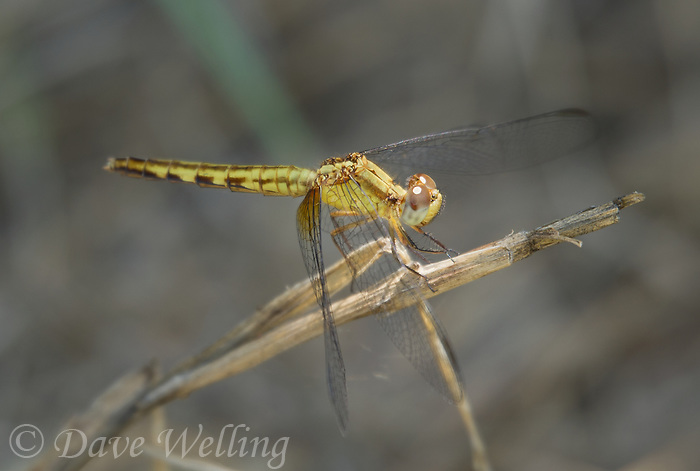 340420002 a wild female plateau dragonlet erythrodiplax basifusca perches on a dead plant stem in topock marsh near five mile landing in havasu national wildlife refuge mojave county arizona united states