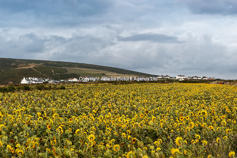A field of sunflowers that have grown recently due to the warm and sunny weather in Rhossili, in the Gower Peninsula, near Swansea, Wales, UK. Monday 13 August 2018