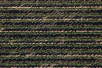 An aerial view of a vineyard in Middletown, California from a hot air balloon on Saturday July 14th 2012. (Photo By Brian Garfinkel)