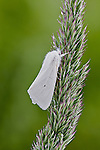 A fresh white Virginian Tiger Moth on a grass seedhead.
