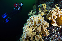 TA0260-D. Cloud Sponges (Aphrocallistes vastus), deep-water glass sponges range from Japan and Russia across to Alaska and south to Mexico, inhabiting cool waters down to more than 5000 feet deep. Individuals can be white, yellow or brown and grow to more than 10 feet in size. Fragile and long-lived,  they form extensive sponge gardens or reefs in some areas, providing shelter for fish and invertebrates. British Columbia, Canada, Pacific Ocean.<br /> Photo Copyright &copy; Brandon Cole. All rights reserved worldwide.  www.brandoncole.com