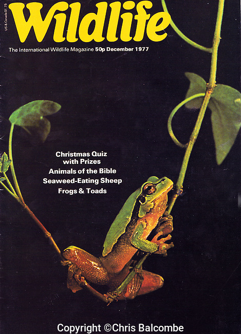 A first magazine front cover! BBC Wildlife Magazine cover shot of a European Green Tree Frog. 1977.<br />