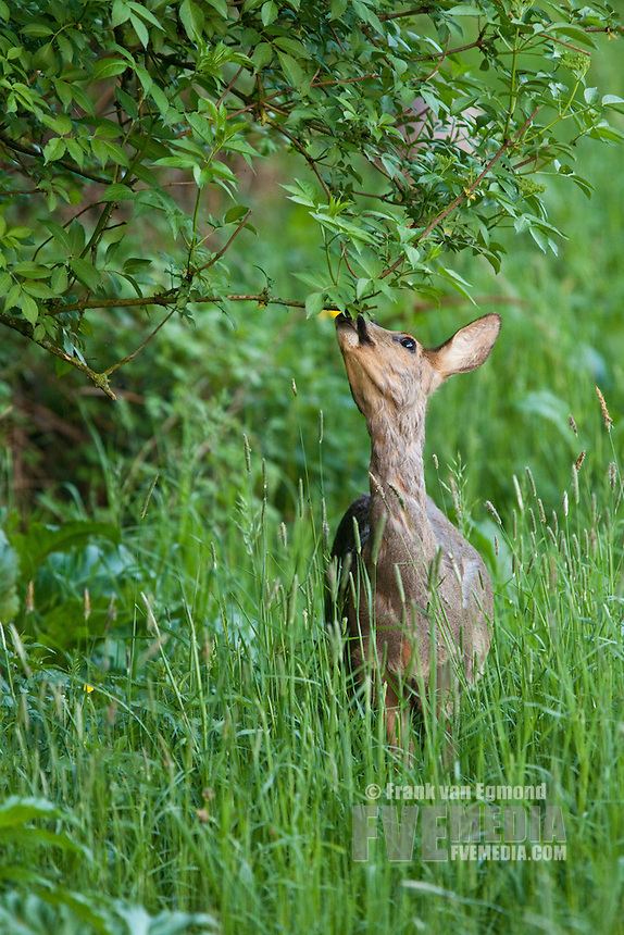 Roe Deer (Capreolus capreolus). The essense of a roe deer; a timit knibbler. During spring the roe deer loses it's winter coat.