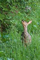 Roe Deer (Capreolus capreolus). The essense of a roe deer; a timit knibbler. During spring the roe deer loses it's winter coat.
