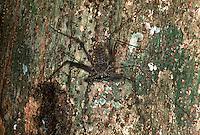 Amblipigeo<br /> Amblypygi é uma ordem de aracnídeo comumente chamada de amblipígio (em inglês whip spider, aranha chicote) e está incluída na classe Arachnida, a mesma classe das aranhas, escorpiões e carrapatos. Atualmente se conhece cerca 160 espécies em cinco famílias distribuídas por todas as partes do mundo (distribuição cosmopolita) . No Brasil tem-se aproximadamente 20 espécies em três famílias: Charinidae, Phrynidae e Phrynichidae .<br /> <br /> de mimetismo com o tronco de uma ·rvore  para se proteger de seus predadores.<br /> Purus-Amazonas-Brasil<br /> 07/06/01<br /> ©Foto: Paulo Santos