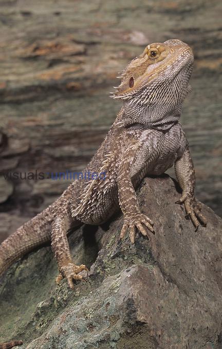 Eastern Bearded Dragon (Pogona barbata), Australia.