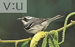 Black-throated Gray Warbler (Dendroica nigrescens), first winter female, Arizona, USA.