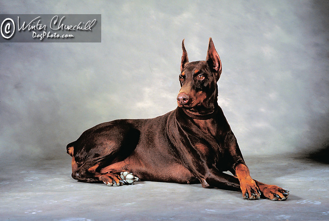 Doberman Pinscher<br /> <br /> <br /> <br />  Shopping cart has 3 Tabs:<br /> <br /> 1) Rights-Managed downloads for Commercial Use<br /> <br /> 2) Print sizes from wallet to 20x30<br /> <br /> 3) Merchandise items like T-shirts and refrigerator magnets