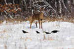 White-tailed deer(Odocoileus virginianus) curiously watching some ravens.  Winter, WI.