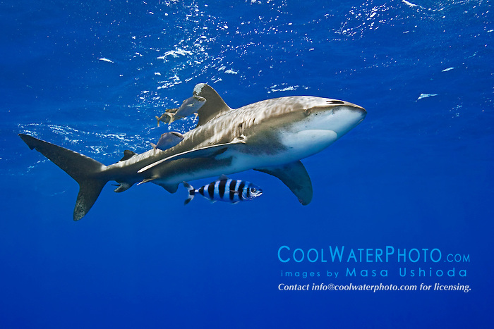 Oceanic Whitetip Shark, Carcharhinus longimanus, swimming in strong down current at the FAD buoy (Fish Aggregation Device), accompanied by Pilotfish, Naucrates ductor, and juvenile Amberjacks, Seriola dumerili, off Kona, Big Island, Hawaii, Pacific Ocean.