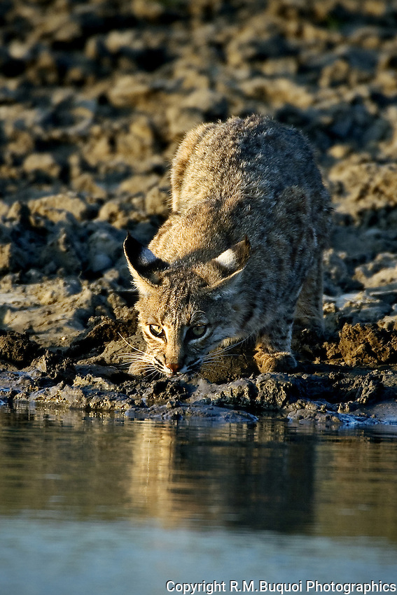 Bobcat drinking at waters edge