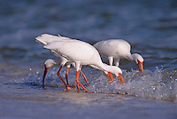 White Ibis, Eudocimus albus,group feeding at shoreline, Sanibel Island, Florida, USA