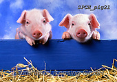 Xavier, ANIMALS, REALISTISCHE TIERE, ANIMALES REALISTICOS, pigs, photos+++++,SPCHPIG21,#a#, EVERYDAY