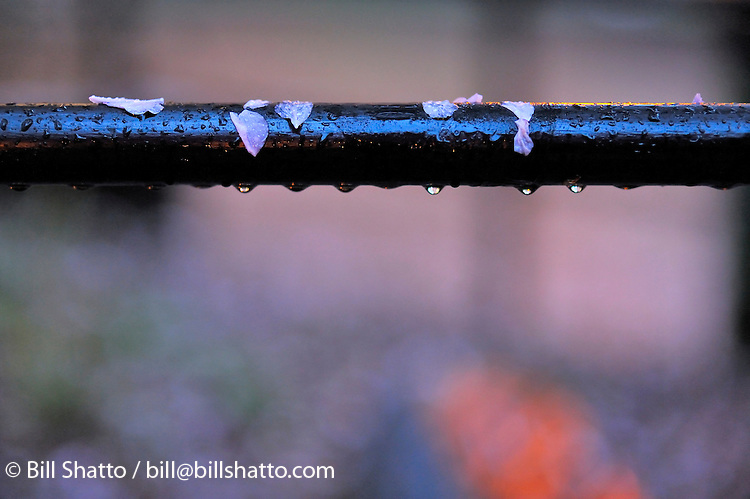 Cherry blossom petals draped on a fence during an evening spring rain.