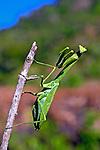 Animais. Insetos. Louva-a-Deus ( Mantis religiosa). AM. Foto de Zigh Koch.