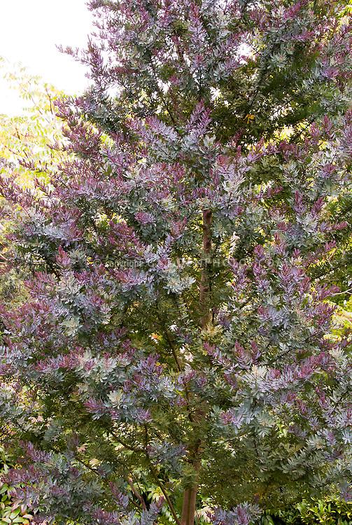 Acacia Baileyana Purpurea Agm Plant Flower Stock Photography