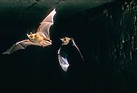 Ingekorven vleermuis (Myotis emarginatus), vliegend