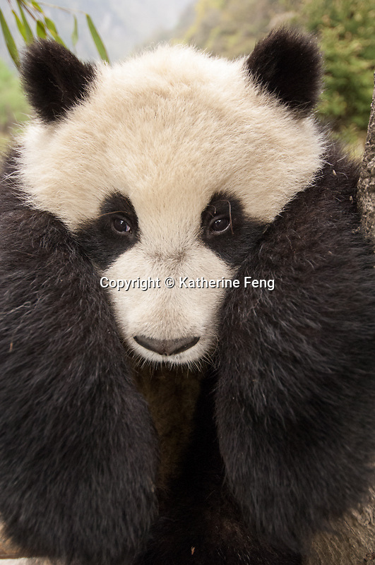 head shot of 10 month old giant panda cub as it hangs over climbing structure.   (Ailuropoda melanoleuca)  China Conservation and Research Center for the Giant Panda,  Wolong Nature Reserve, Sichuan, China