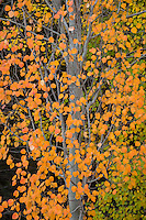 Aspen tree in autumn, Oregon