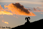 Bighorn sheep ram silhouetted on alpine tundra during summer. Rocky Mountain National Park, Colorado.