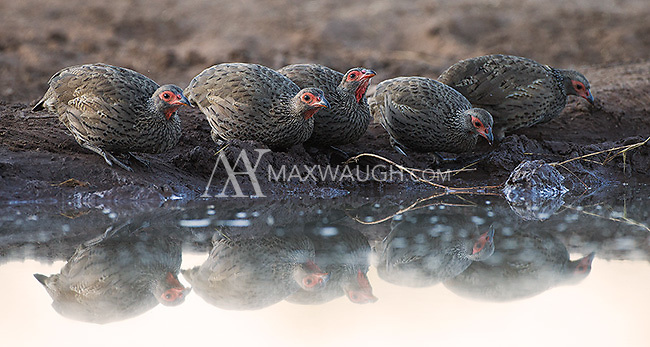 The Swainson's spurfowl was another of the fowl species seen during our trip.