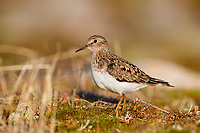 Adult Temminck's Stint (Calidris temminckii). Varanger Peninsula, Norway. June.