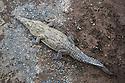 American Crocodile {Crocodylus acutus} in the Tárcoles River, Costa Rica. May.