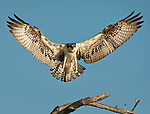 Osprey landing on a dead tree branch