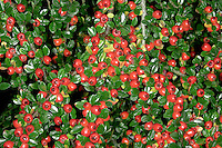 WALL COTONEASTER Cotoneaster horizontalis (Rosaceae) Height to 50cm. Stiff shrub with branches that divide and spread in a flat plane. Deciduous but leaves appear early. FLOWERS are pink and solitary (May-Jul). FRUITS are bright red, spherical berries. LEAVES are 5-10mm long, glossy above and hairless below. STATUS-Widely grown in gardens and occasionally naturalised, mainly on calcareous soils.