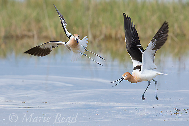American Avocet (Recurvirostra americana), two during midair aggressive interaction, Bear River Migratory Bird Refuge, Utah, USA