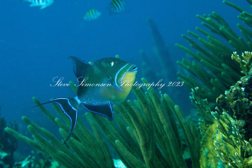 Queen Triggerfish (Balistes vetula).Virgin Islands