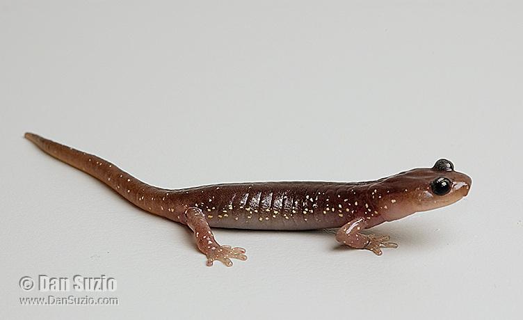 Arboreal salamander, Aneides lugubris.  Alameda County, California