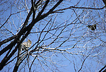 Great horned owl; Buba virginianus; harassed by crows