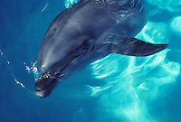 Atlantic Bottlenose dolphin at Sea Life Park, Oahu, Hawaii