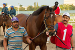 HALLANDALE BEACH, FL  JANUARY 27: #1 Singing Bullet, heading into the saddling paddock before the Pegasus World Cup Invitational, at Gulfstream Park Race Track on January 27, 2018,  in Hallandale Beach, Florida. (Photo by Casey Phillips/ Eclipse Sportswire/ Getty Images)