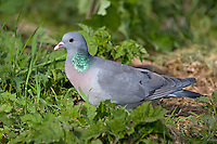 Stock Dove Columba oenas L 33cm. Similar to Woodpigeon but slimmer proportions and separable using plumage details. Rather solitary but forms flocks outside breeding season. In flight, wings are flicked. Sexes are similar. Adult has blue-grey upperparts and paler grey underparts. Note pinkish maroon flush to breast, iridescent green patch on side of neck; wings have two narrow black bars on upper surface and broad, dark trailing edge. Juvenile is similar but wing bars are faint. Voice During breeding season, utters repetitive oo-u-look call. Status Locally common in lowland, wooded farmland, and arable fields in winter.