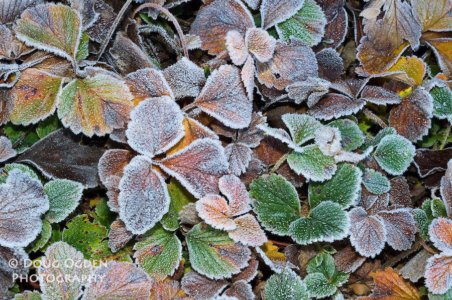 Frosted Strawberry plant leavess