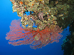 Blue Corner, Palau -- Red sea fan on a sea wall.