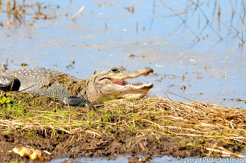 Smiling alligator enjoying the sunshine. Photographed at Arthur Marshall Loxahatchee Preserve, Boynton Beach, Florida.