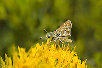 389230001 a wild common branded skipper butterfly hesperia comma feeds on a wild rabbitbush flower along the road to green creek in mono county califorina united states
