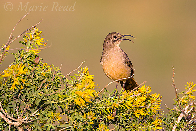California Thrasher (Toxostoma redivivum), singing while perched amid yellow flowers of Bladderpod (Isomeris arborea) Crystal Cove State Park, California, USA