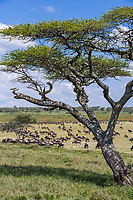 White-bearded Gnu, or Wildebeest, Serengeti National Park, Tanzania, East Africa