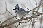 Portrait of a blue jay perched on a branch near the Platte River in Nebraska.