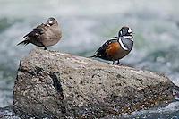 Harlequin Duck pair (Histrionicus histrionicus) resting on rock in fast flowing mountain stream during spring mating season.  Western U.S.  Spring.