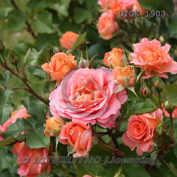 Gisela, FLOWERS, BLUMEN, FLORES, photos+++++,DTGK1903,#f#