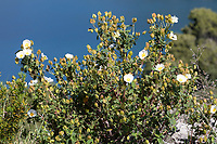 Salbeiblättrige Zistrose, Salbeiblättrige Cistrose, Cistrose, Zistrose, Cistus salviifolius, sage-leaved rock-rose, salvia cistus, Gallipoli rose, rock rose, rock-rose, Le Ciste à feuilles de sauge, le Ciste femelle, Zistrosen, Cistrosen, Zistrosengewächse, Cistaceae, rockroses, rock-roses, Kroatien, Croatia
