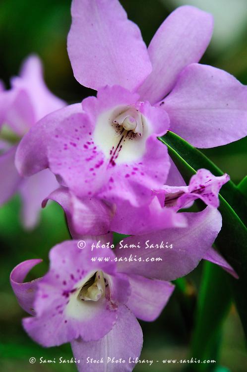 Purple Orchids, close-up, Big Island, Hawaii Islands, United States